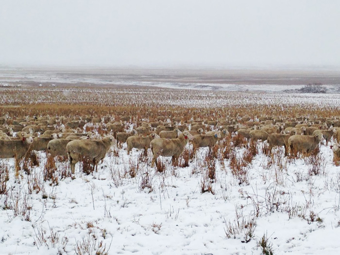 sheep-camouflaged-field-pilgrim-farms-liezel-kennedy-4