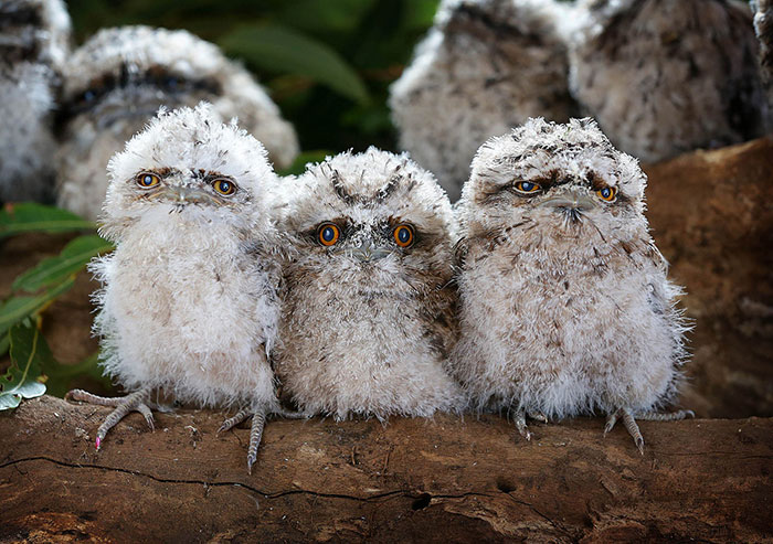 The World's Cutest Owl Look-Alike Is The Tawny Frogmouth (32 Pics)
