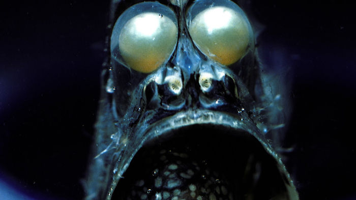 The Deep Sea Hatchetfish