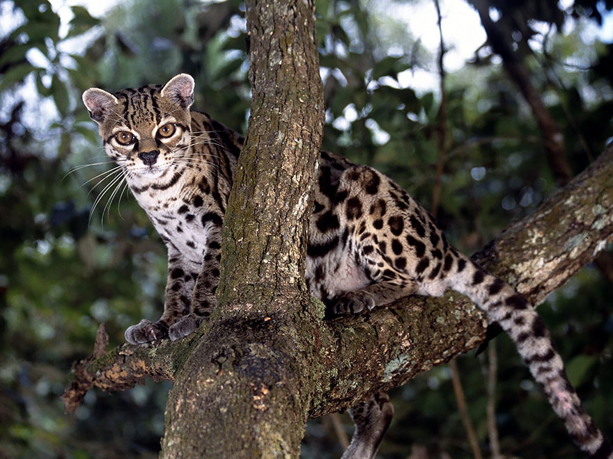 Margay Kedi (leopardus Wiedii)