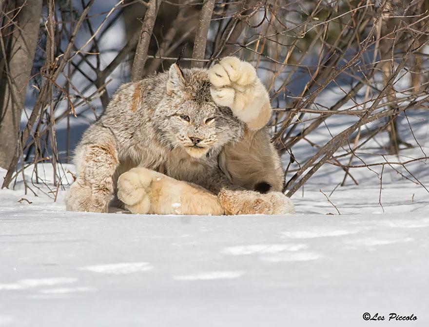 12 видов диких кошек, о которых вы не знали