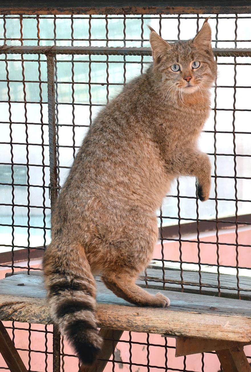 Çin Mountain Cat (Felis Bieti)