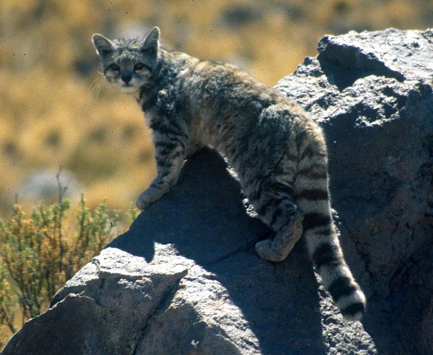 And Cat (leopardus Jacobita)