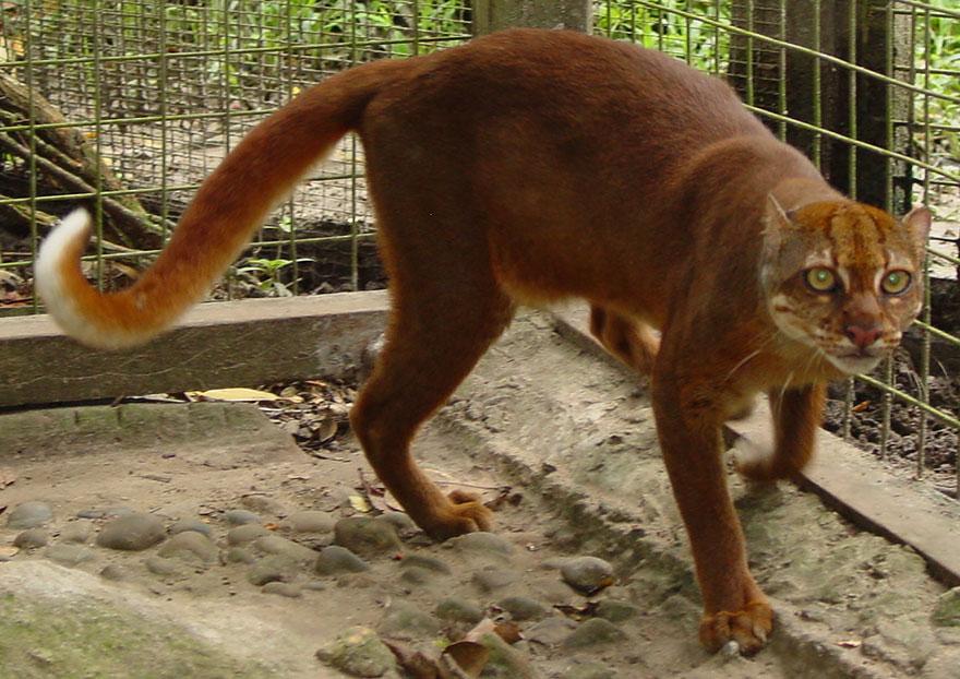 Bay Cat (Catopuma Badia)