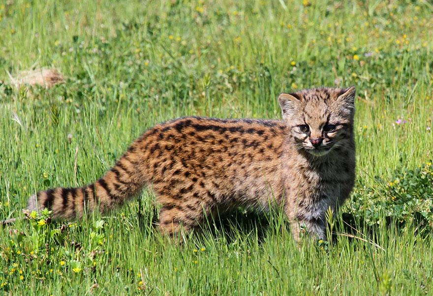 Şili orman kedisi (leopardus Guigna)