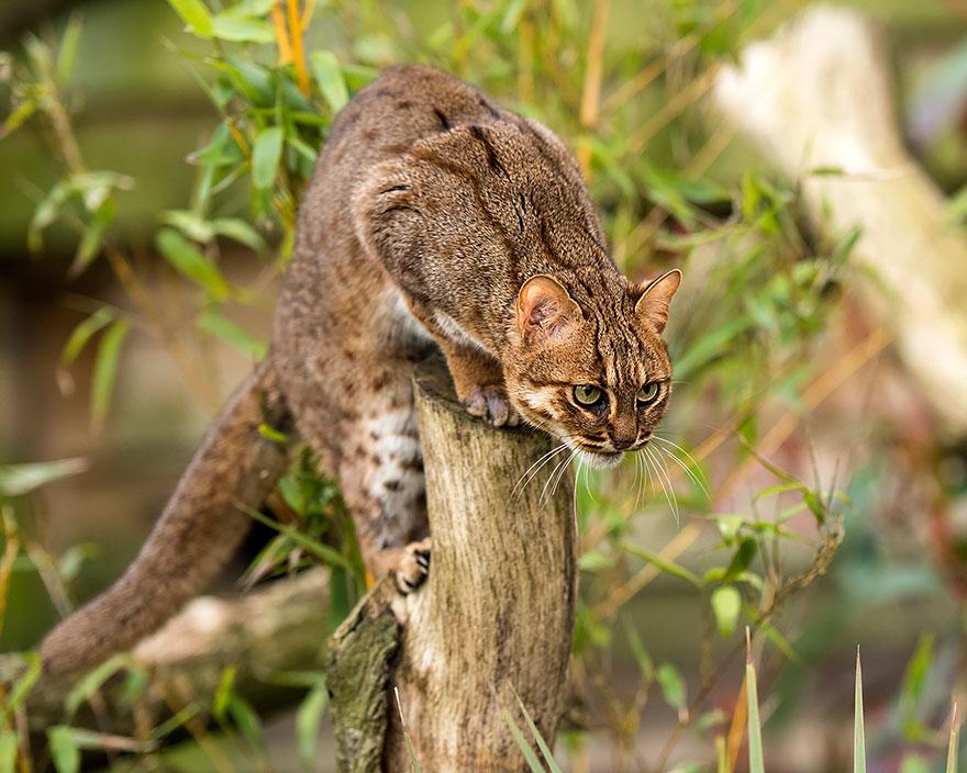 Rusty Spotted Cat (Prionailurus Rubiginosus)