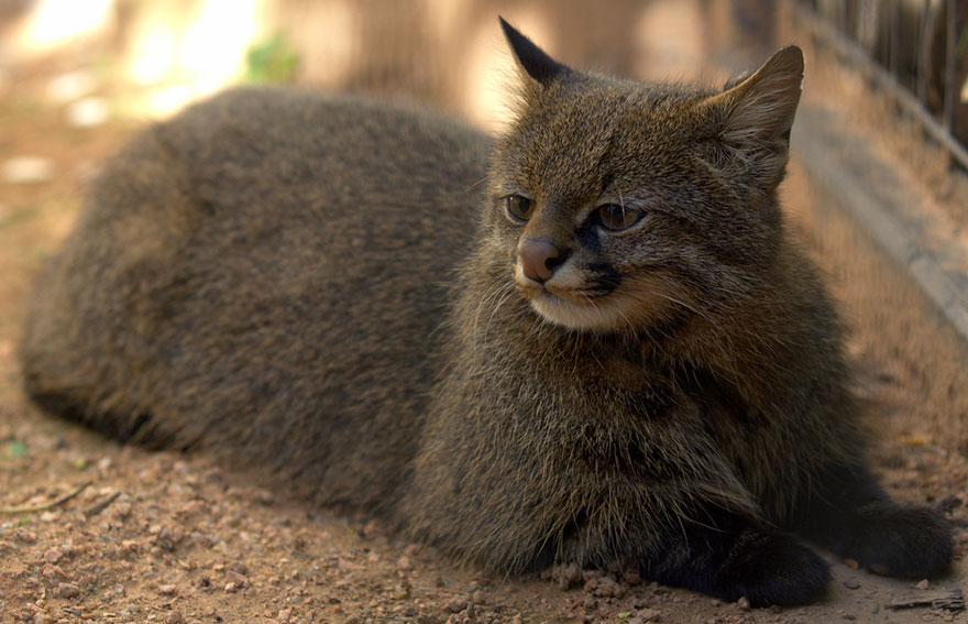 Pampas Cat (Leopardus Pajeros)