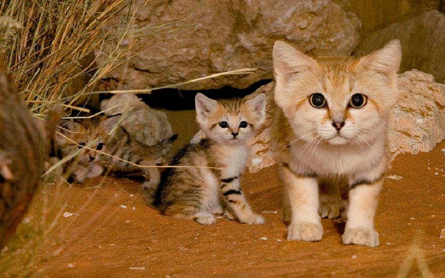 Sand Cat (Felis Margarita)