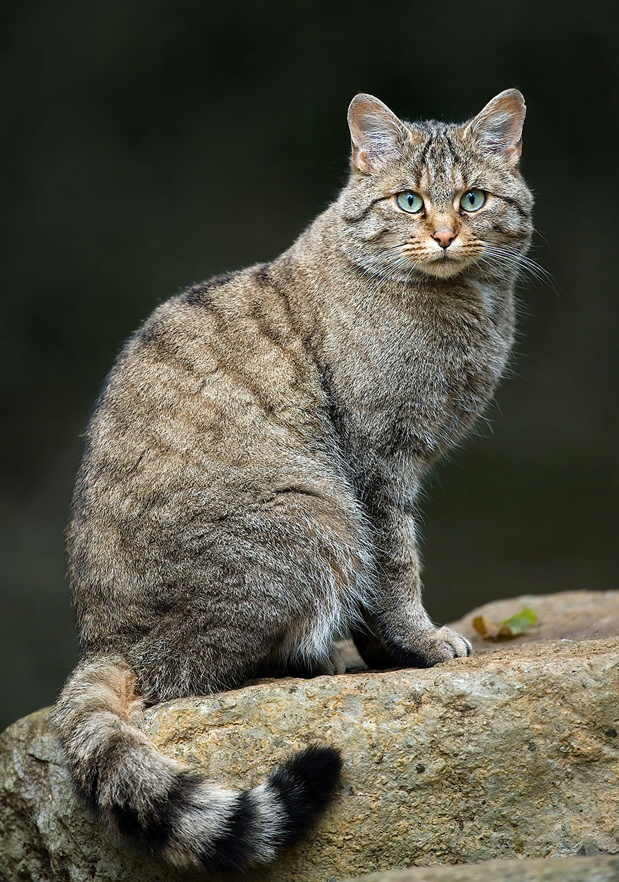 21 Rare Wild Cat Species You Probably Didn't Know Exist | Bored Panda