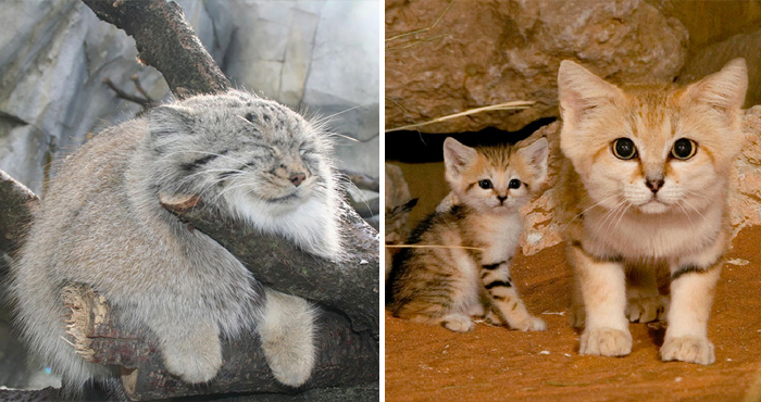 21 Rare Wild Cat Species You Probably Didn't Know Exist