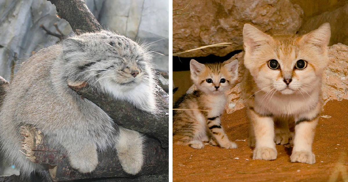 21 Rare Wild Cat Species You Probably Didn T Know Exist Bored Panda