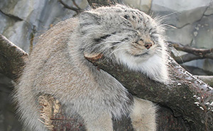 12+ Rare Wild Cat Species You Probably Didn't Know Exist