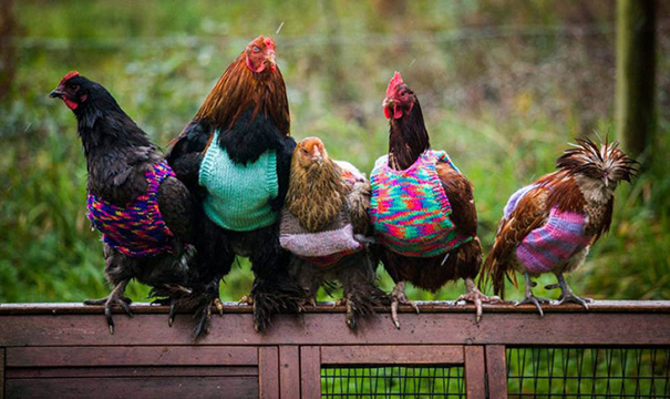 Woman Knits Tiny Sweaters For Rescued Chickens To Keep Them Warm