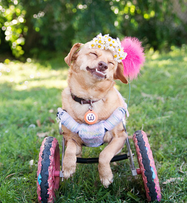I Saved A Dog From Euthanasia And Now She Happily Runs In A Wheelchair