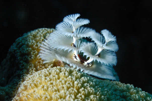 Bonaire_white_Christmas_tree_worm_C1