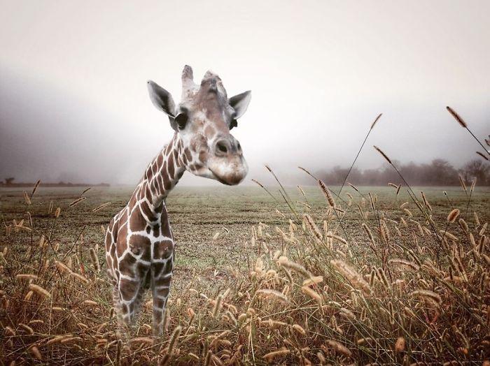 Giraffe In A Field