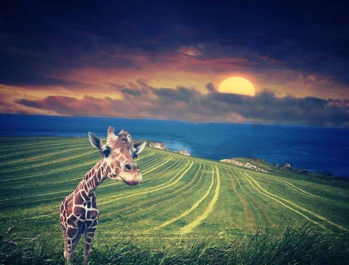Giraffe Watching A Sunset