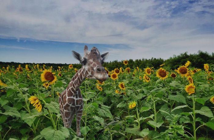 Giraffe In A Sunflower Field