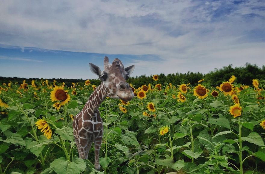Giraffe In A Sunflower Field