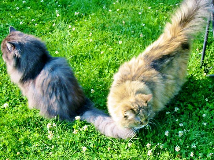 Ming And Tansy Persian Rescues
