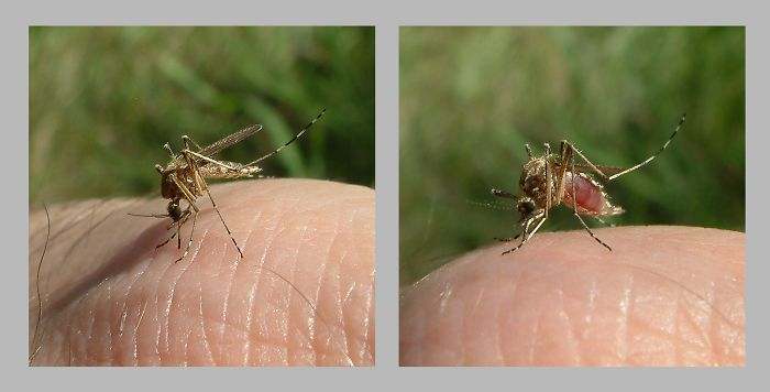 One-minute Attack – One Mosquito
