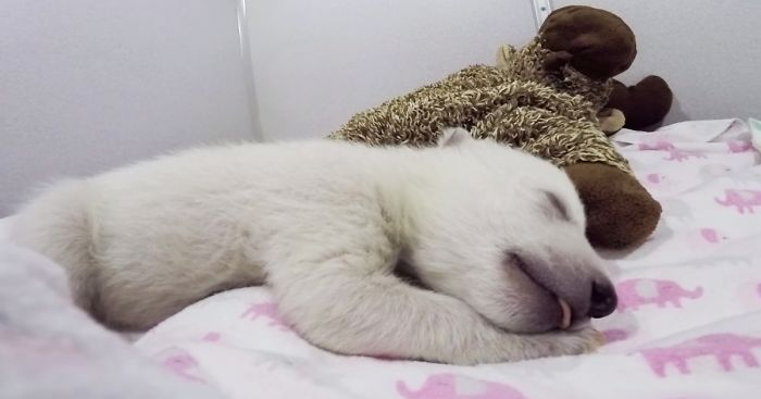 Abandoned Baby Polar Bear Sleeping With A Stuffed Animal Makes Cute