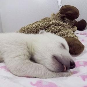 Abandoned Baby Polar Bear Sleeping With A Stuffed Animal Makes Cute Sounds