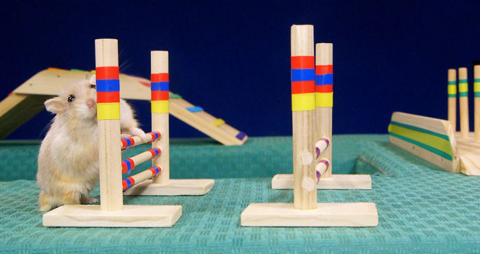 Are Hamsters Smarter Than Dogs? I Built A Tiny Agility Course To Find Out.