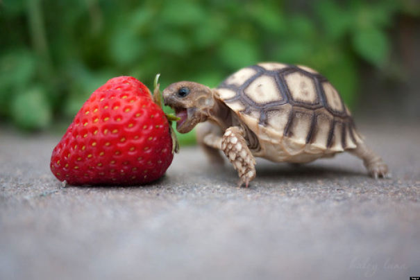 Strawberry Is To Big For The Cute Baby Turtle