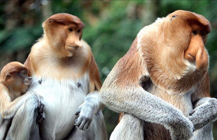 Bekantan Monkey From Borneo Indonesian