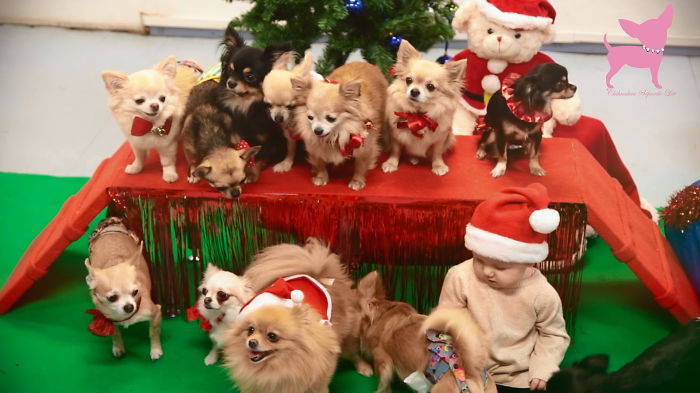 Cute Chihuahua Christmas Party :)