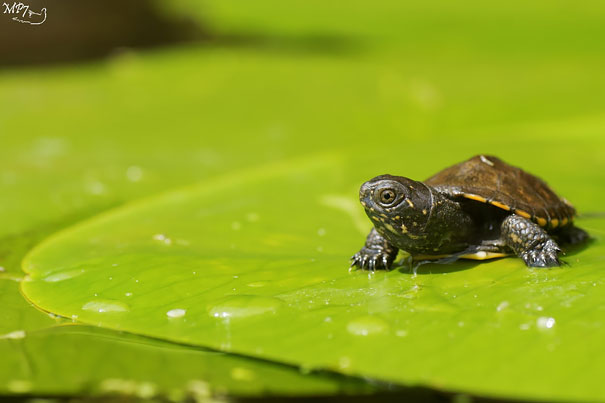 New Born Of European Pond Terrapin