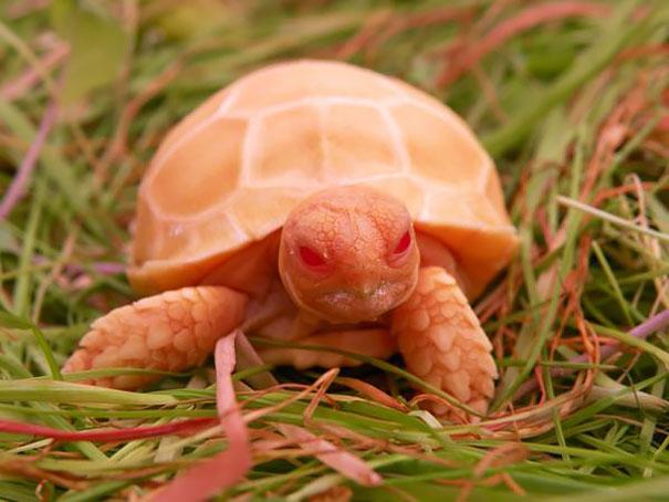 Albino Tortoise