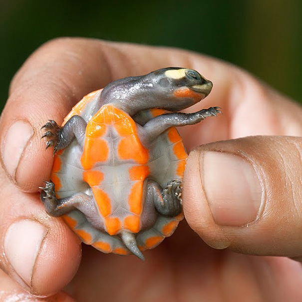 Gorgeous Baby Turtle With Bright Orange Tummy And Shell