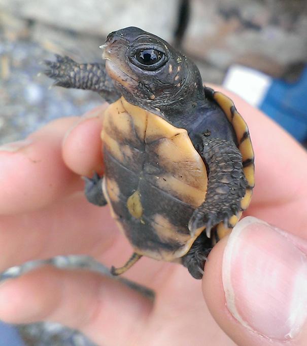 One Week Old Turtle Baby