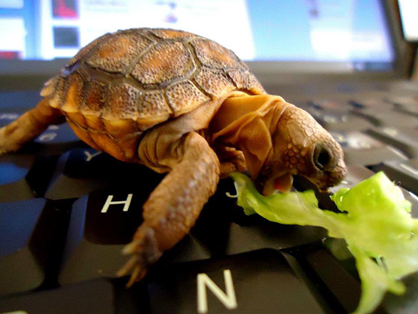 Here's A Baby Tortoise On A Laptop