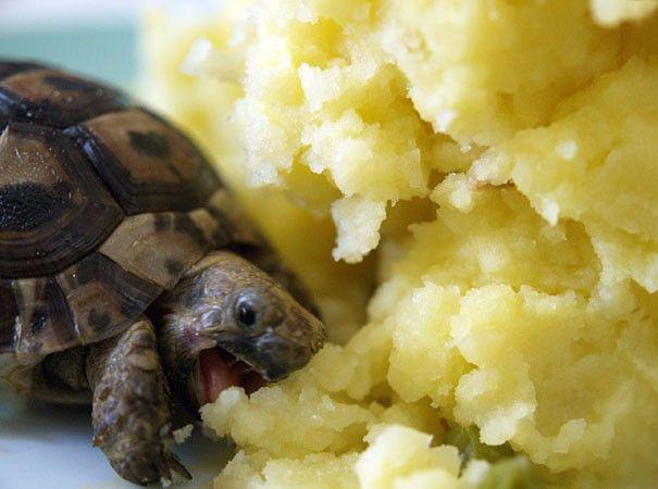 Baby Tortoise Loves Eating Mashed Potato