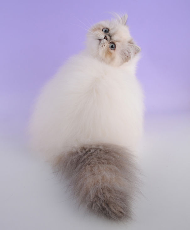 Of The Fluffiest Cats In The World Bored Panda - 25 of the fluffiest cats ever