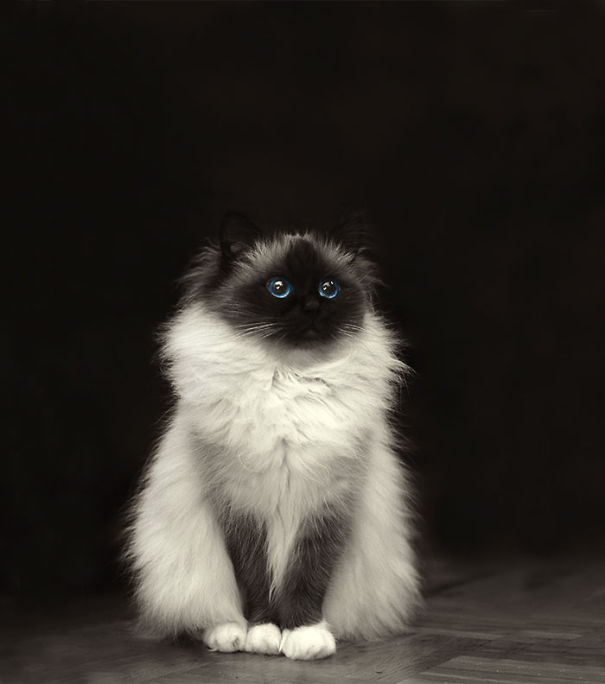 Of The Fluffiest Cats In The World Bored Panda - 16 fluffy cute animal species world