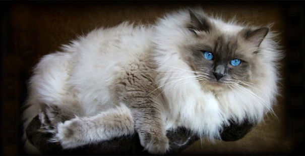 20 Of The Fluffiest Cats In The World Bored Panda