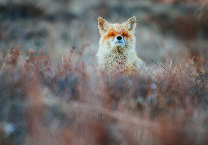 Russian Miner Spends His Breaks Photographing Foxes In The Arctic Circle (Part 2)