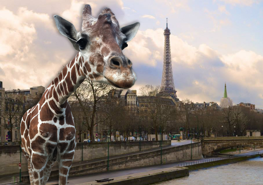 Giraffe In Paris!