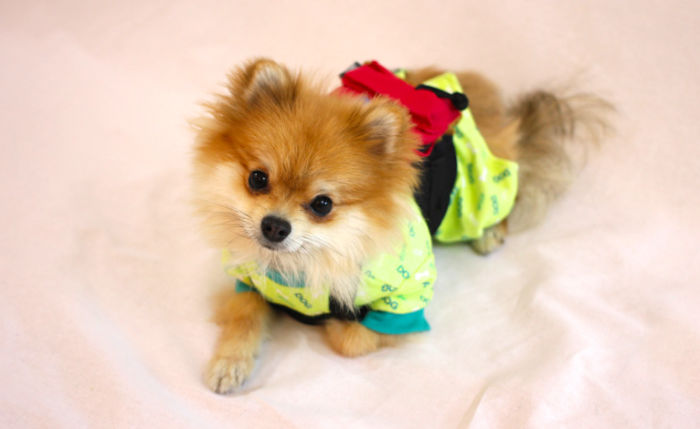 Half Pomeranian / Half Fox Tries To Find His Place In The World Using His Adorable Outfits