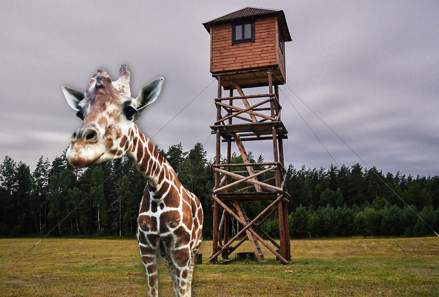 Giraffe In A Countryside