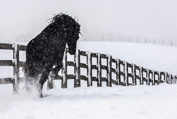 I Photograph Beautiful Friesian Horses All Year Long