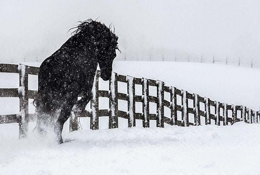I Photograph Beautiful Friesian Horses All Year Long