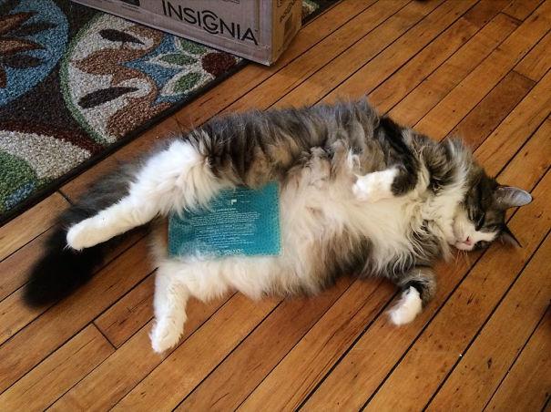 cat food for fat cats