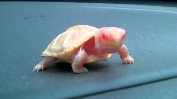 Baby Albino Turtle With Pretty Pink Eyes!