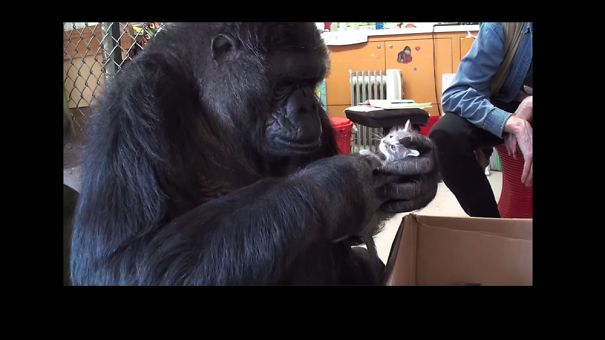 Koko The Gorilla Gets Two New Kittens Of Her Own