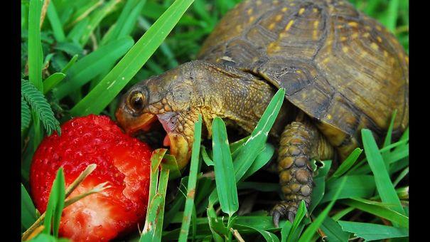 Cute Tortoise Eating A Strawberry